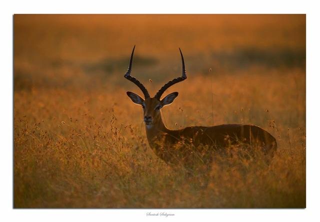 Male impala in back light in Masai Mara, Kenya - © Santosh Saligram
