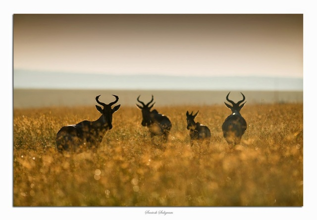 Coke's hartebeest in back light in Masai Mara, Kenya. © Santosh Saligram