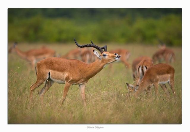 Male impala smelling, Masai Mara, © Santosh Saligram