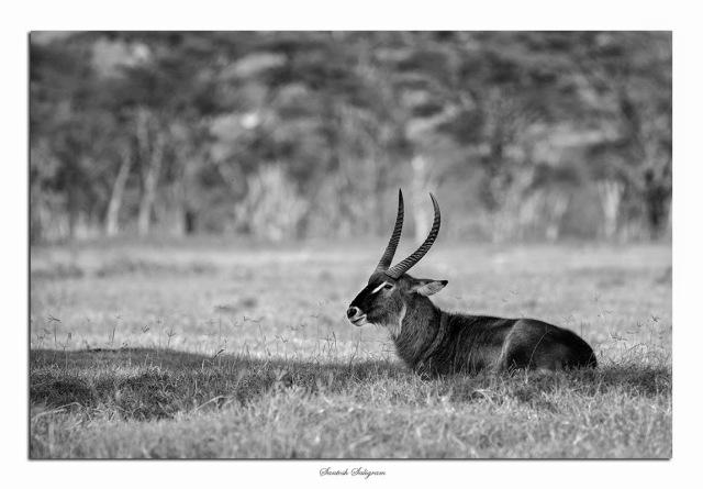 Male Defassa waterbuck, Lake Nakuru, Kenya. © Santosh Saligram