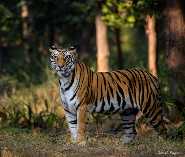 Sukhi Pateeha female tiger Bandhavgarh, by Santosh Saligram