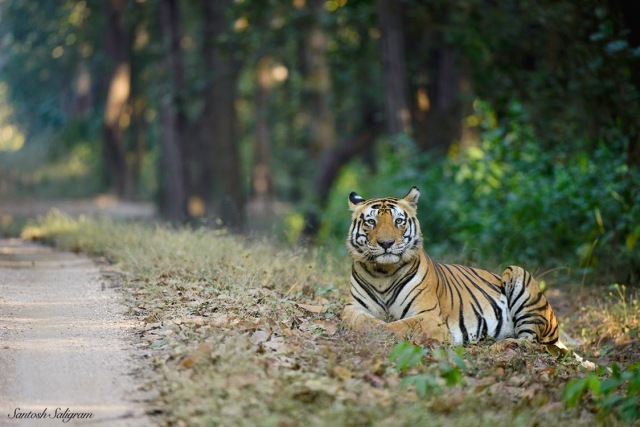Male tiger Munna sitting by a vehicle track in Kanha, India - by Santosh Saligram