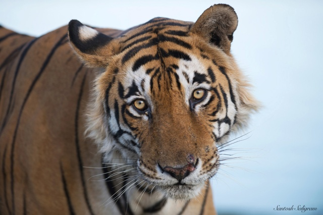 Star Male or T28, Ranthambhore National Park © Santosh Saligram