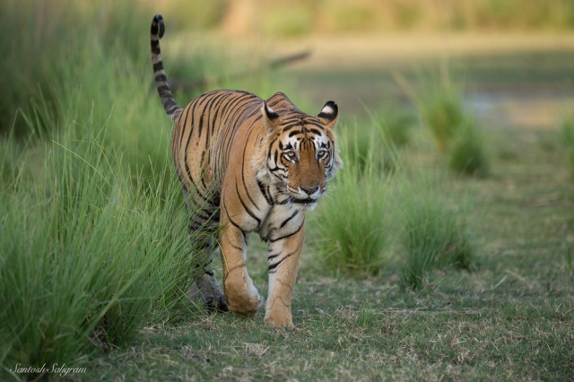Star Male or T28, Ranthambhore National Park © Santosh Saligram
