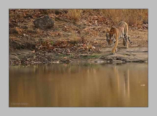 Kankati tigress at Rajbehra in May 2009 © Santosh Saligram