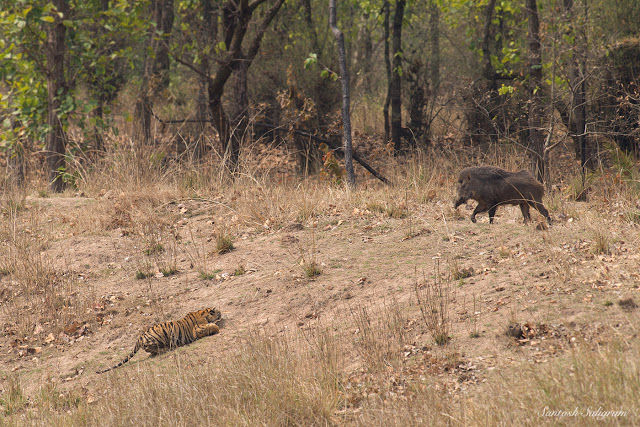 sukhi-pateeha-female-cub-stalking-wild-boar-bandhavgarh-santosh-saligram