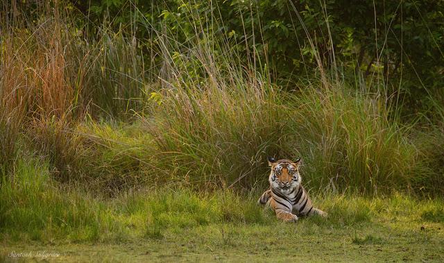 Banbehi's first litter male cub sitting in Kinarwah grassland, Bandhavgarh © Santosh Saligram