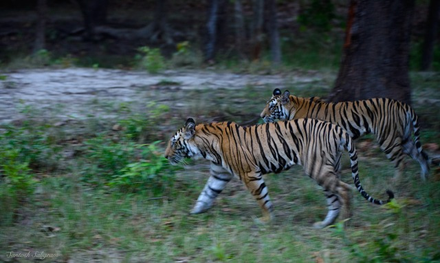 Kankati's first litter cubs at Sidhbaba, Bandhavgarh. © Santosh Saligram