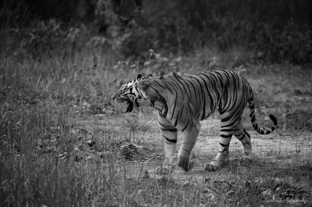 Kankati snarling at cubs, Bandhavgarh. © Santosh Saligram