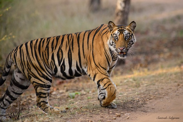 Banbehi male cub near Kinarwah, Bandhavgarh. © Santosh Saligram
