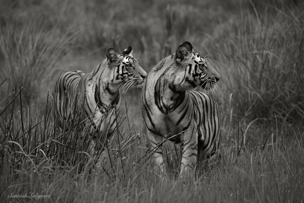 Kankati's first litter cubs at Sidhbaba, Bandhavgarh. By Santosh Saligram