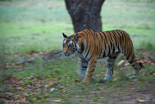 Kankati's first litter female cub, Bandhavgarh. By Santosh Saligram