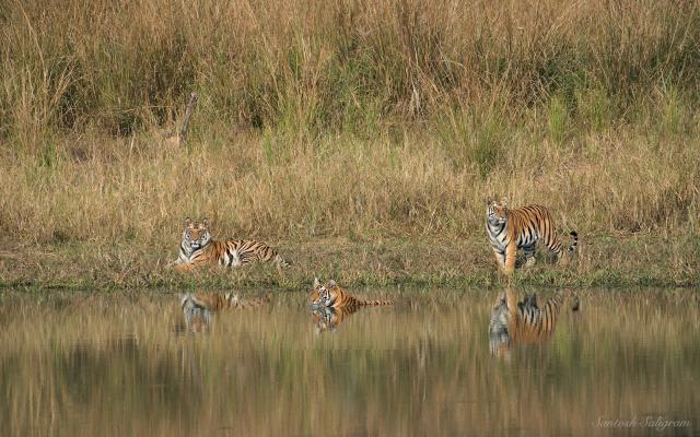 Sukhi Pateeha Female II's third litter cubs at Dabhadol, © Santosh Saligram