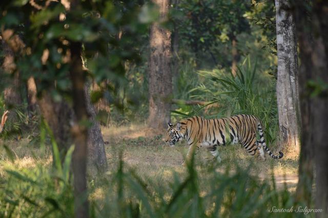 Sukhi Pateeha Cub D or Dotty in Bandhavgarh, © Santosh Saligram