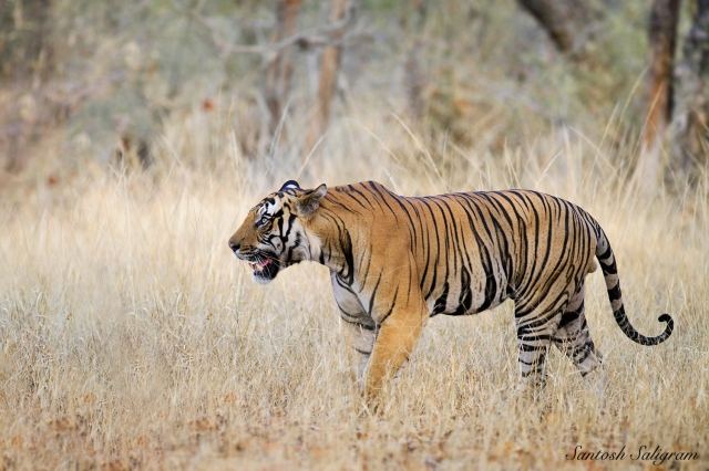 Mahaman male tiger T39 Bandhavgarh Santosh Saligram