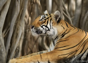 Tigress Arrowhead in Ranthambhore National Park, India. © Santosh Saligram