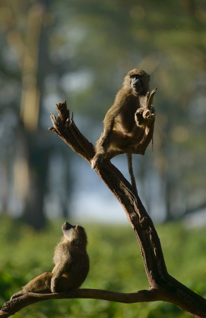 Baboons in Lake Nakuru, Kenya. © Santosh Saligram