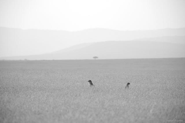Cheetah and cub in Masai Mara, Kenya. By Santosh Saligram